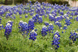 A field of bluebonnets in Central Texas.