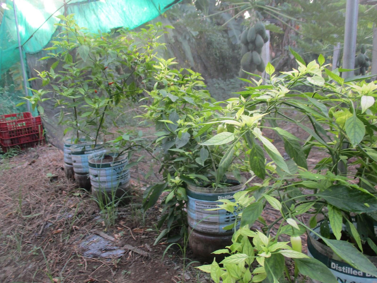Jfarm demo hydroponic gardening soil less vegetables for Garden soil for sale