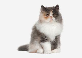 kucing persia jenis populer gambar dan harga