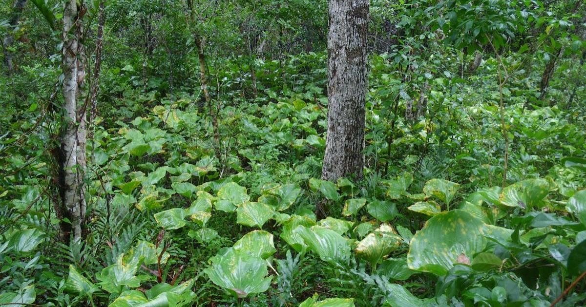 Queensland coast critically endangered littoral rainforests for Australian rainforest