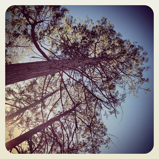 tall pine trees, blue skies