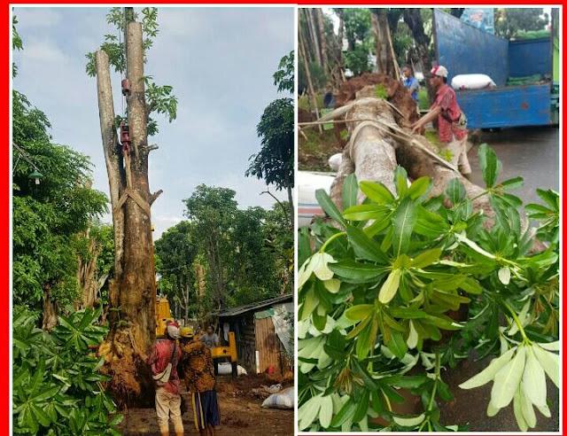 Tak Kuat Dengan Banyaknya Cercaan Dari Masyarakat Luas, Anies Putuskan Kembali Tanami Monas Dengan Pohon Pule