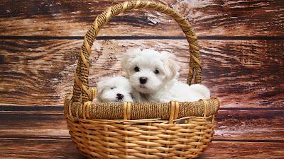 bichones malteses metidos en una cesta