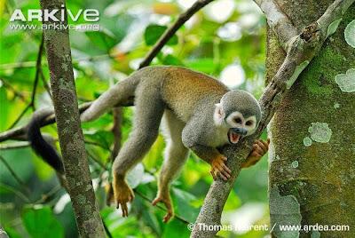 South American squirrel Monkey