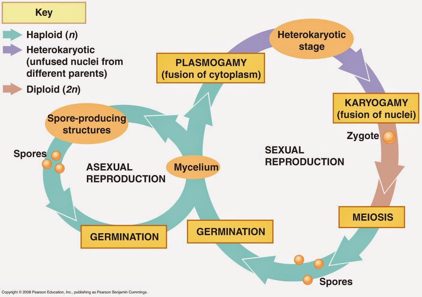 Odd Organisms Fungi Life Cycle