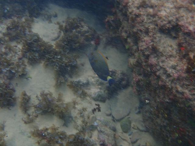 Acanthurus dussumieri