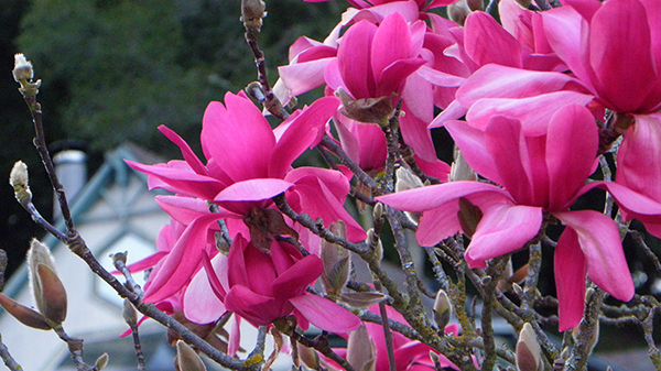 Magenta Magnolia with Fancy Window in Background