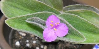 flor de tradescantia sillamontana