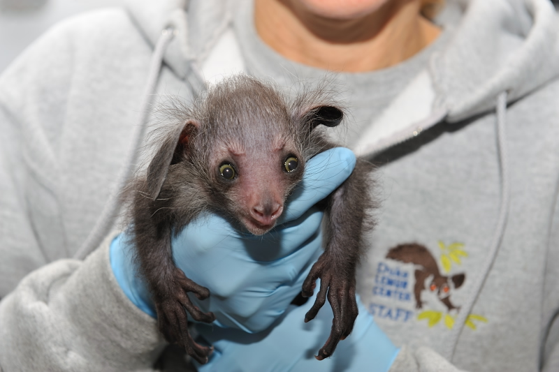 Baby Animals: Baby Aye-aye 3