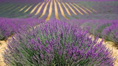 Cara Menghilangkan Bulu dengan Minyak lavender dan minyak pohon teh