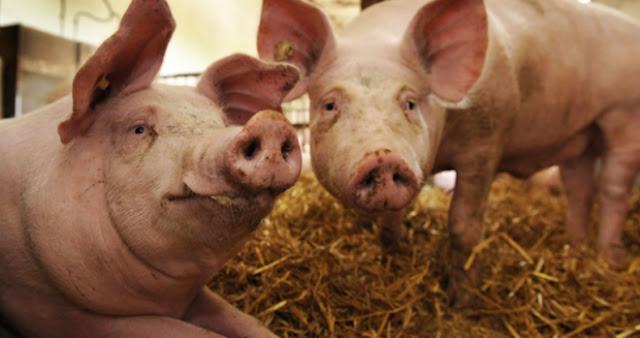 Γιατί οι Εβραίοι και οι μουσουλμάνοι δεν τρώνε χοιρινό;