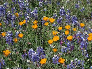 Purple lupine, vetch, and California poppies blooming along Santa Rosa Creek Road, San Luis Obispo County, California