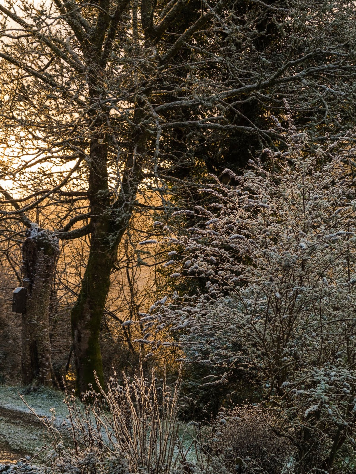 Snow covered plants and trees at sunset in the Boggeragh Mountains.