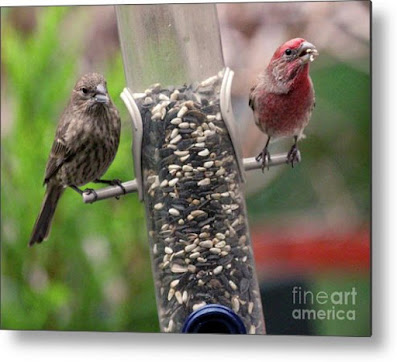 This is a screen shot of a photograph which has been rendered on to metal and I'm selling it via Fine Art America. It features a couple of House finches at a tube shaped bird feeder filled with seeds. The female (brownish) is on  the left side of the feeder while the male (red) is on the right of the tube. Info re this work of art is @ https://fineartamerica.com/featured/dinner-for-two-patricia-youngquist.html?product=metal-print