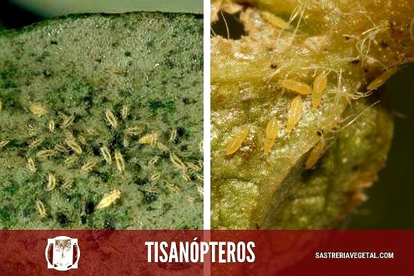 El orden Thysanóptera o Tisanópteros: estos insectos son muy pequeños, de metamorfosis sencilla, chupadores, con cuatro alas