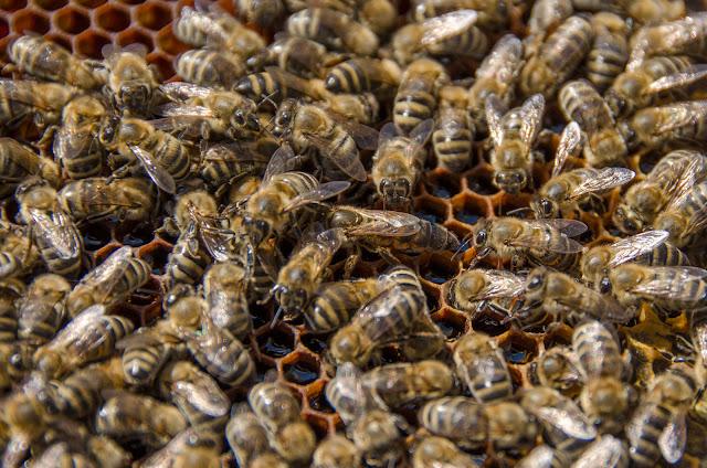 Матица и пчели