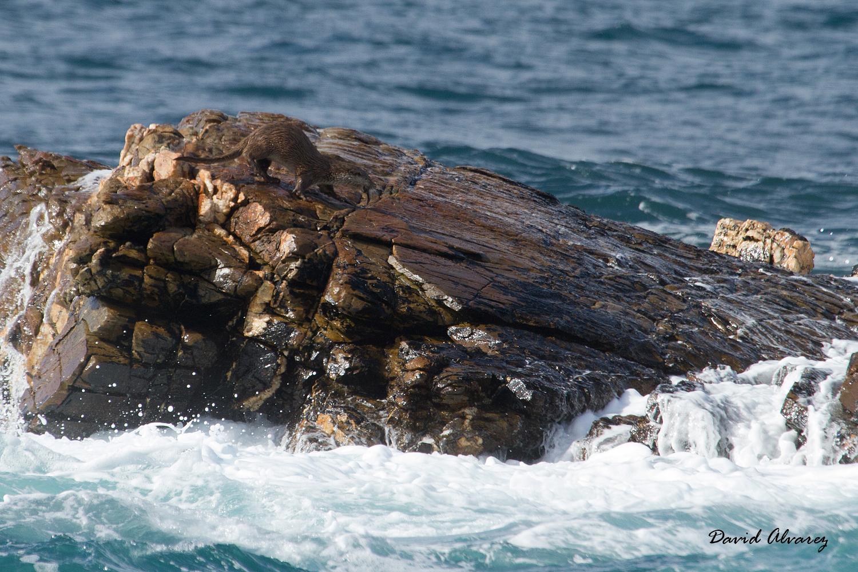 Naturaleza Cantábrica: Nutrias marinas