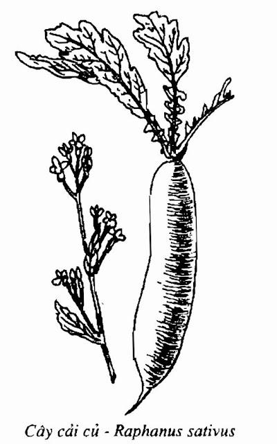 Hình vẽ CỦ CẢI - Raphanus sativus L - Nguyên liệu làm thuốc Chữa Ho Hen