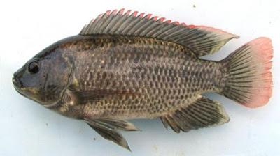 Klasifikasi Ilmiah Ikan Mujair