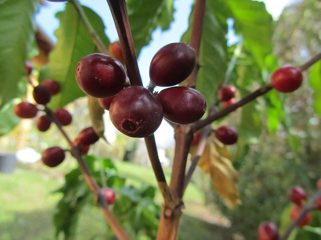 Frutti Maturi Pianta del Caffè