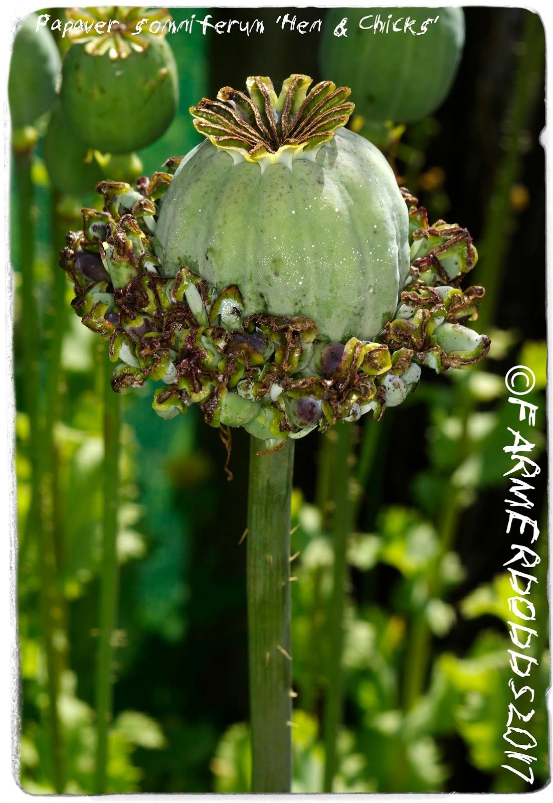 Papaver Somniferum Seeds