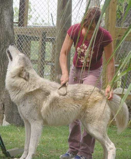 An image of woman grooming a wolf