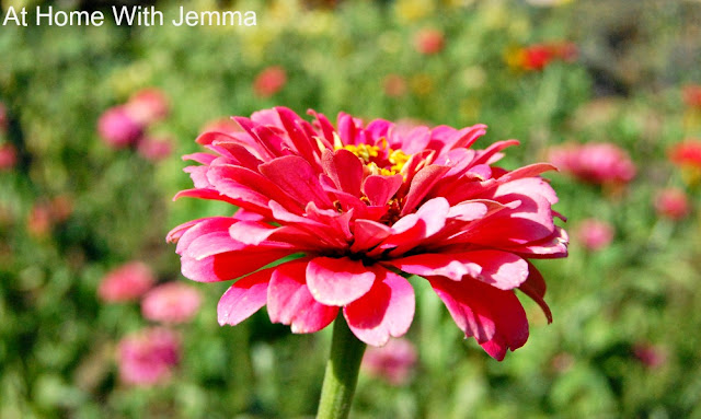 mulch, water, drought, garden, gardening, tips, flowers, zinnias, athomwithjemma.com
