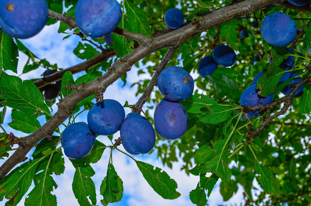 Plums - fruit that will regenerate your body - Healing properties of prunes
