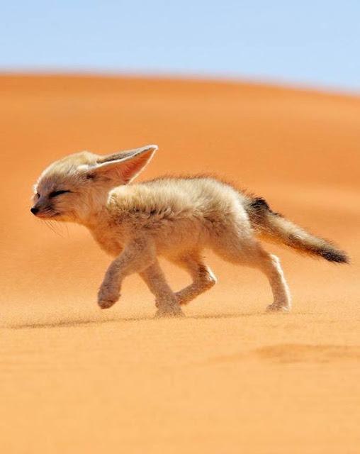 thú nuôi cáo sa mạc