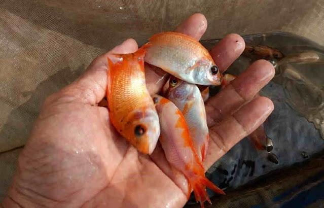 Supplier Jual Ikan Nila Bibit dan Konsumsi di Semarang, Jawa Tengah