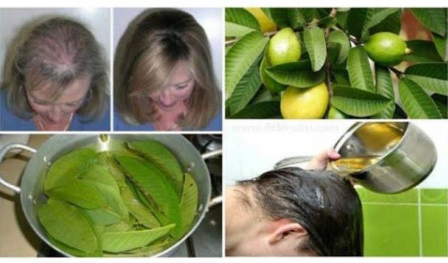 khasiat daun jambu biji untuk rambut