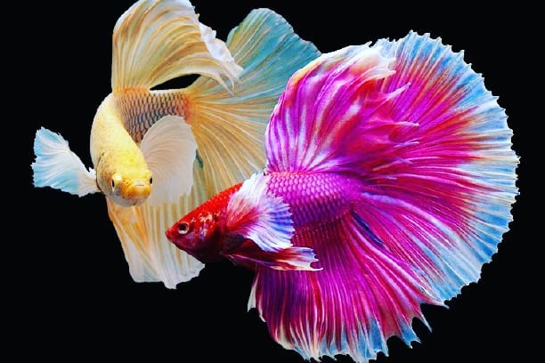 Tips Budidaya Ikan Cupang