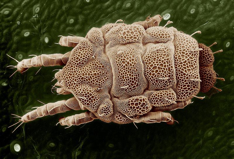 Arachnids: Yellow mite (Tydeidae), Lorryia formosa 2