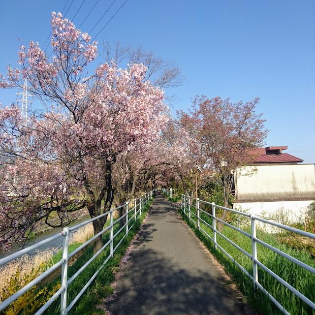 芸術の小路 桜