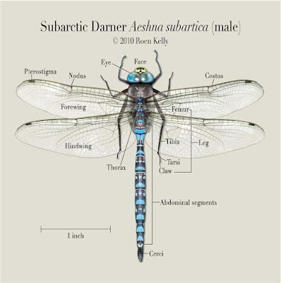 Subarctic Darner