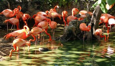 Flamingos grooming in lagoon at Ardastra Gardens.