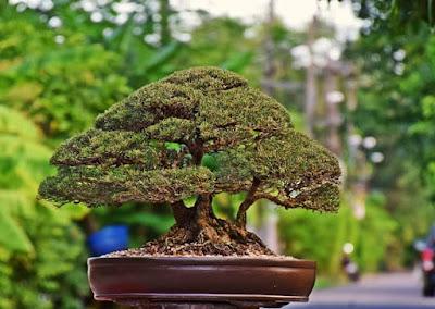 Membuat bonsai cemara udang yang indah