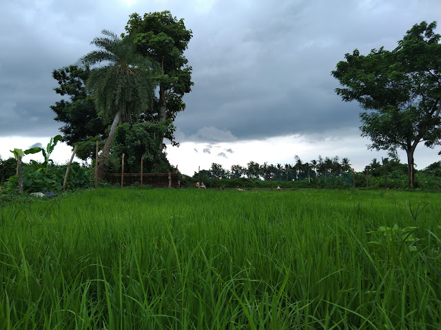 Monsoon at it best for Paddy cultivation
