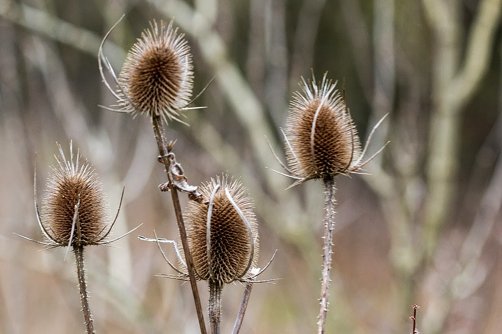 Teasels by the Old Lock