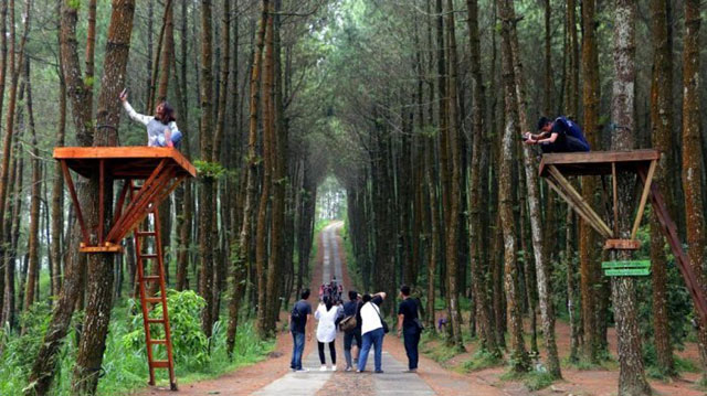 Wisata Alam Pohon Pinus Kragilan