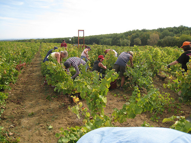 harvesting gobelet vine training in italy