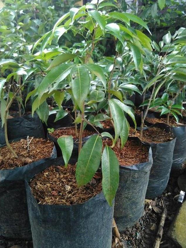 Bibit leci kom dataran rendah Jawa Barat