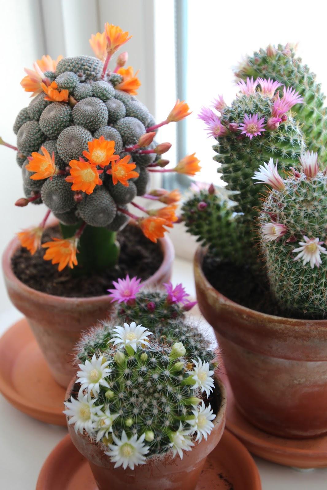 blommande kaktusar