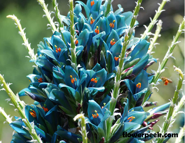 Growing and caring for Blue Puya plant