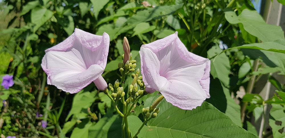 ดอกของผักบุ้งต้น