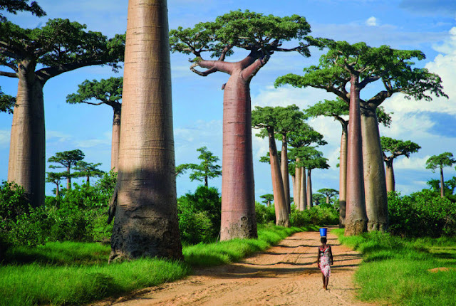 Avenue Baobabs, Menabe, Madagaskar