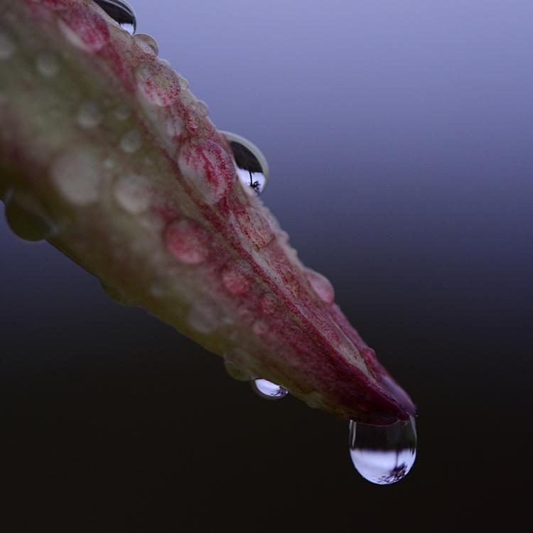 Bouton de fleur de Yucca sous la pluie