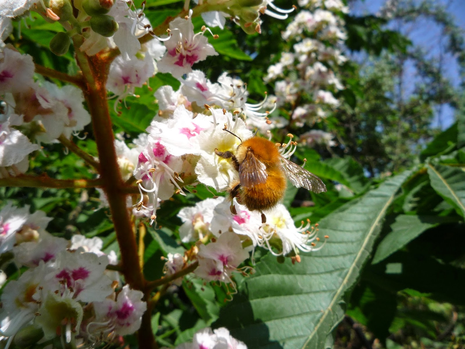 Bumble bee and horse chestnut flower