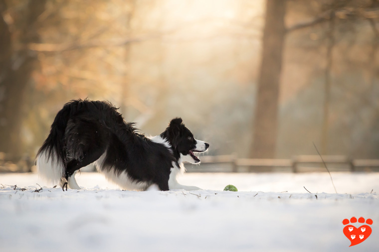 A Border Collie does a play bow in the snow