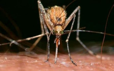 Millions of Genetically Engineered Mosquitoes in the US Florida Keys Will Be Released